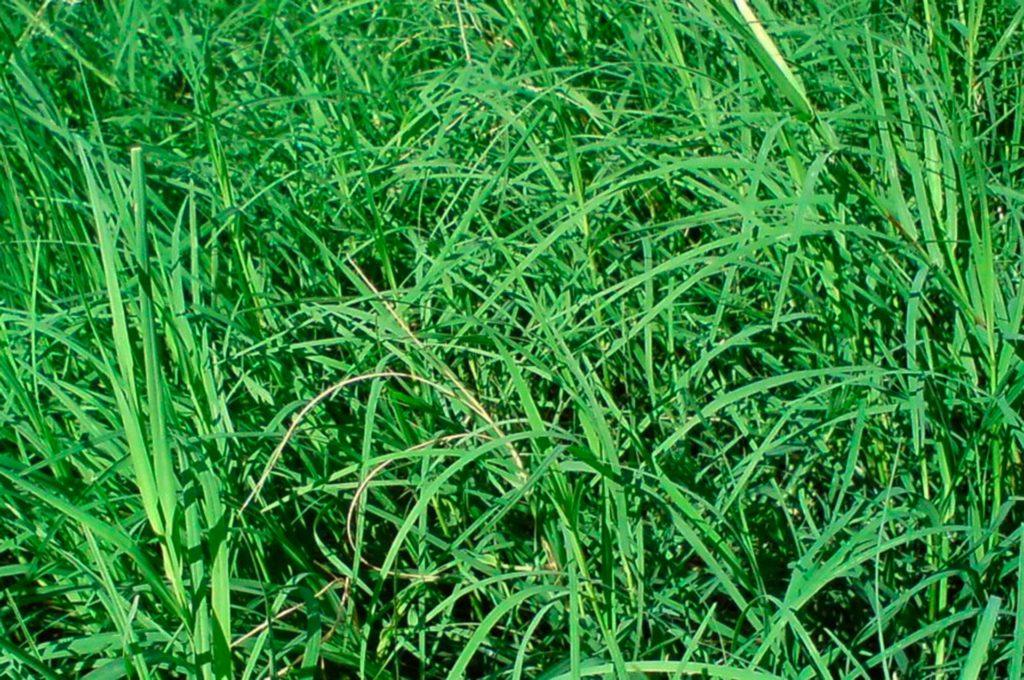 a4b79104b ... e é recomendado fazer a apara durante verão e primavera, pois ela  cresce um pouco menos durante o outono e pode entrar em dormência durante o  inverno.
